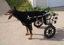 dobermann paralizzato