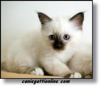 gatto birmano cucciolo