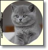 gatto british cucciolo