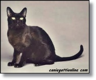 razze feline gatto Burmese