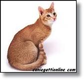 gatto ceylon