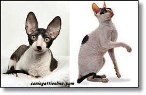 gatto cornish rex