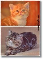 gatto exotic shorthair