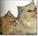 gatto persiano cucciolo