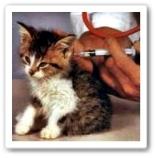 iniezione gattino