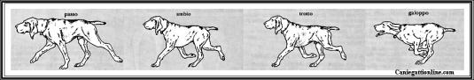 Passo, ambio, trotto, galoppo cane