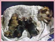 Carenza di calcio nel cane dopo il parto