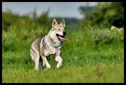 lupo evoluzione cane