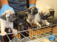 contrabbando cuccioli est europa