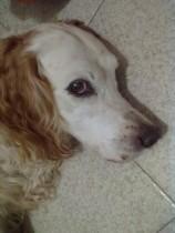 cheratocongiuntivite secca cane