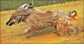 cani per la caccia a vista