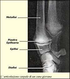 crescita dell' osso del cane182