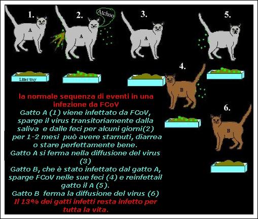 Risultato immagini per peritonite infettiva gatto