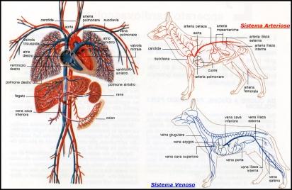 apparato cardiovascolare cane
