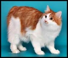 gatto Isole Curili