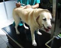 mesoterapia e agopuntura cane
