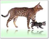 Californian Spangled gatto