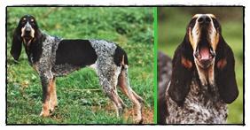 cane da caccia francese