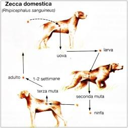 piroplasmosi zecca