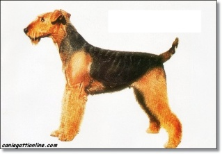 cani terrier Airedale