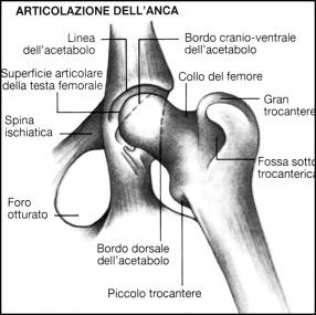 anatomia cane